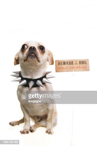 Piccolo cane con collare con puntale con attenzione di segnale : Stock Photo