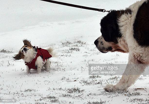 A little dog who is blowed by strong wind is watched by a big one during the first snowfall of this year in Bucharest on January 25 2014 A thick...