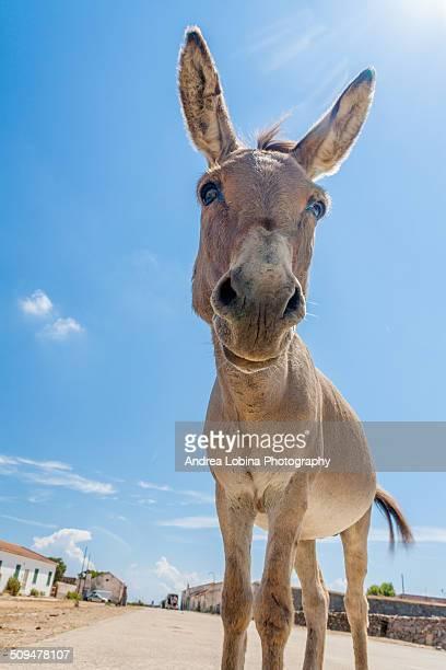 Little donkey watching camera
