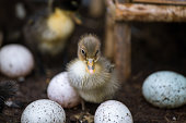 little duckling with egg in a farm