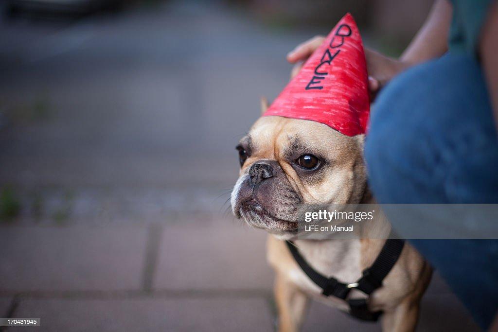 Little Dunce Dog : Stock Photo