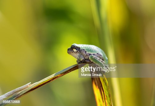Little Eastern Grey Tree Frog