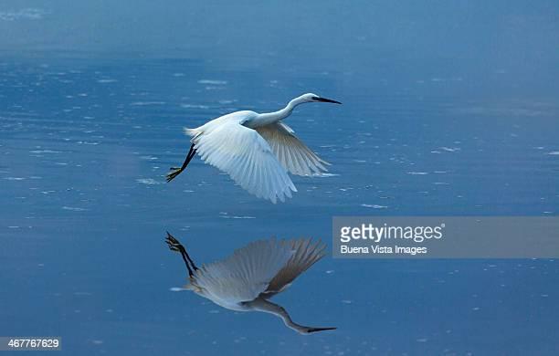 Little Egret (Egretta garzetta) in fly