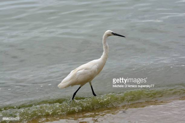 Little egret walking on the sandy shores of Lake Victoria in Entebbe.