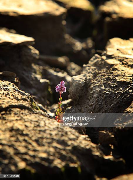 Little flower growing up in dry soil cracking