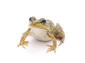 Little frog isolated on a white background.