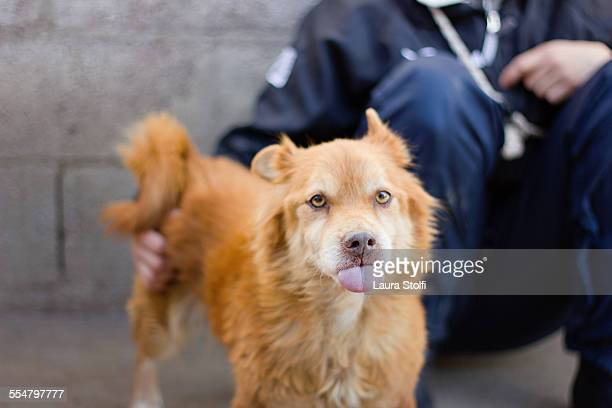 Little ginger dog with tongue out close to owner