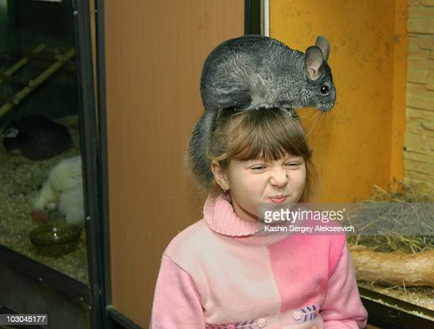 A little girl  and  chinchilla.