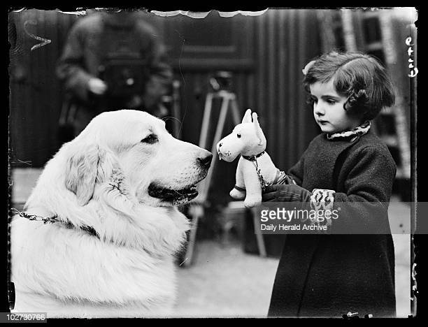 Little girl at Crufts 1937 A photograph of Barbara Parsons introducing her toy dog to Kapile Carei a Pyrenean Mountain dog on the first day of Crufts...