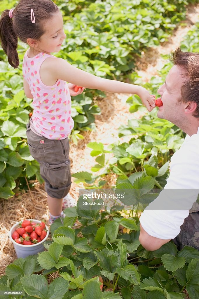 Little girl feeding her father strawberries in strawberry field