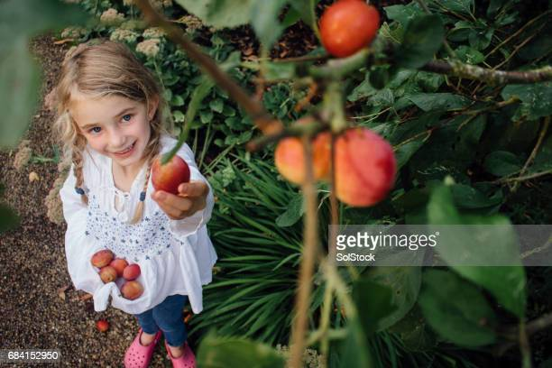 Little Girl Picking Plums