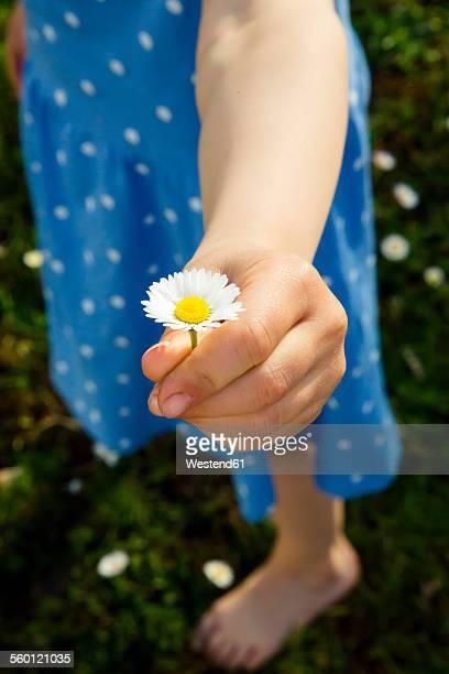 Little girls hand presenting daisy