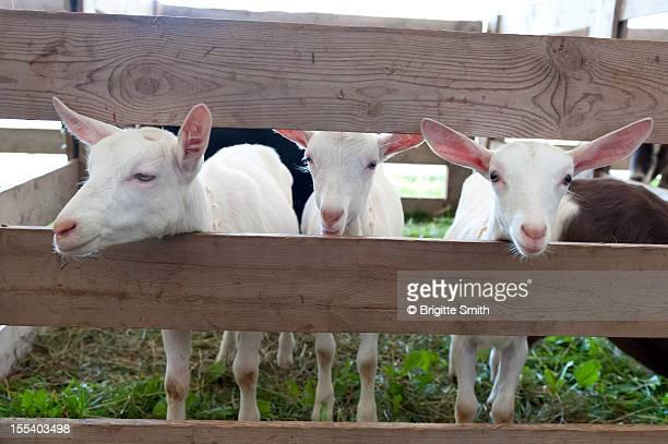 Little Goats
