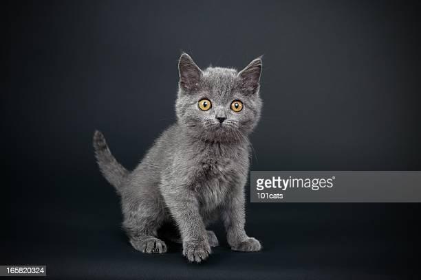 Petit chat gris