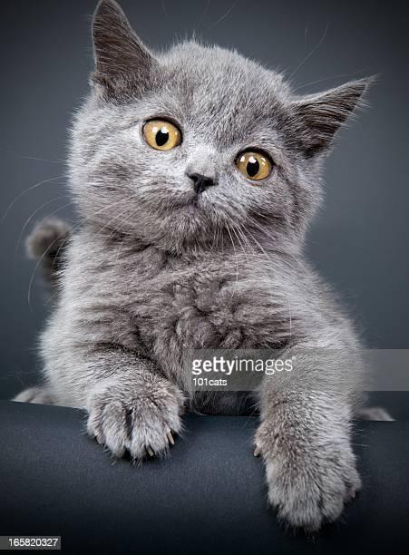 Pequeno Gato cinzento