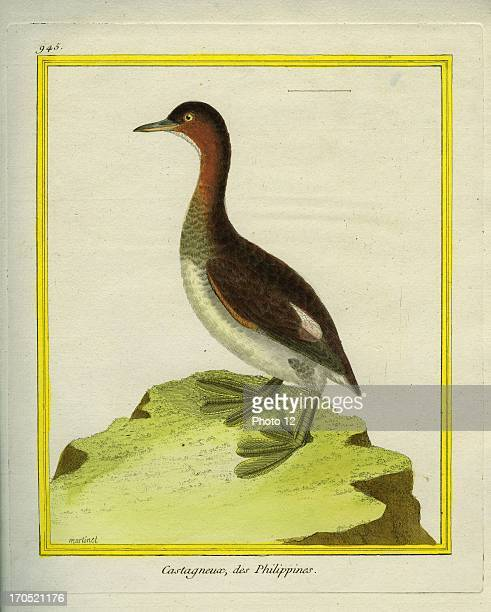 Little Grebe Tachybaptus ruficollisLittle GrebeGeorgesLouis Leclerc Comte of Buffon 'Natural History of birds fish insects and reptiles' coloured and...