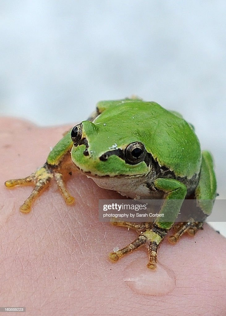 little green frog stock photo getty images. Black Bedroom Furniture Sets. Home Design Ideas