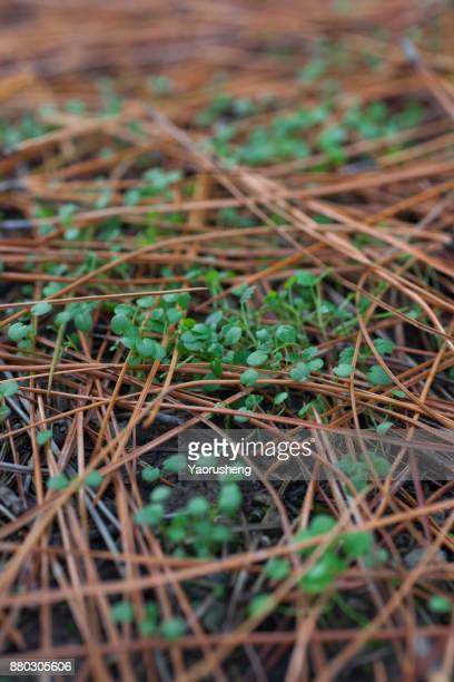 Little green plant growing out of yellow pine leaves in fall season
