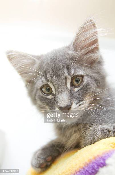 Little grey kitty