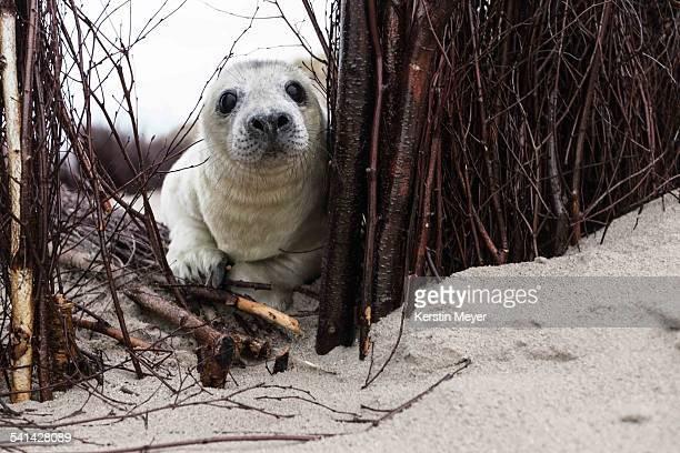 Little grey seal