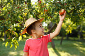 Little happy boy in straw hat taking down red apple from tree
