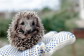 Little hedgehog in the summer