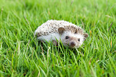 Little Hedgehog in the green grass