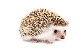 Little hedgehog on white background.