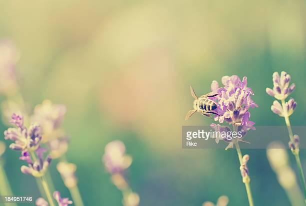 Little honeybee à la lavande