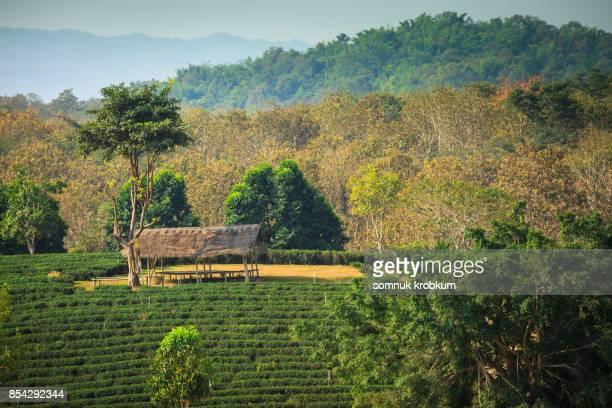Little hut in green tea farm