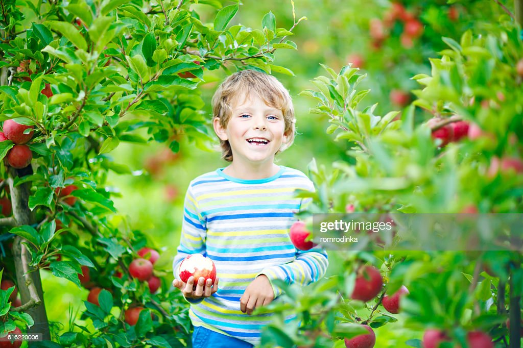Little kid boy picking red apples on farm autumn : Bildbanksbilder