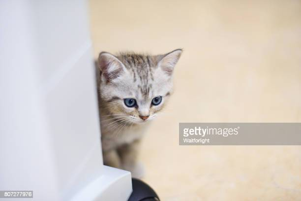 Little kitten with gray-white hair Hidden behind the table