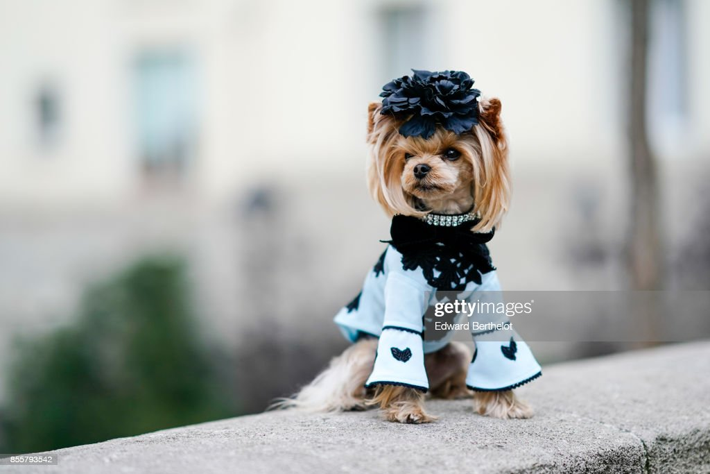 Little Lola Sunshine, fashion dog, is seen outside Andrew GN, during Paris Fashion Week Womenswear Spring/Summer 2018, on September 29, 2017 in Paris, France.