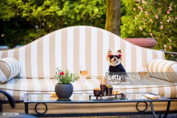 Little Lola Sunshine the dog has appetizer at Four Season Hotel wearing a black dress during Pitti Immagine Uomo 92 on June 11 2017 in Florence Italy