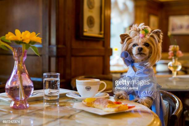 Little Lola Sunshine the dog has breakfast at Gilli caffe wearing dress inspired by OffWhite during Pitti Immagine Uomo 92 on June 12 2017 in...