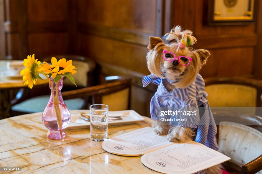 Little Lola Sunshine the dog has breakfast at Gilli caffe wearing dress inspired by Off-White during Pitti Immagine Uomo 92. at on June 12, 2017 in Florence, Italy.