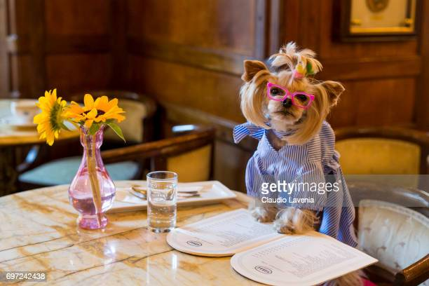 Little Lola Sunshine the dog has breakfast at Gilli caffe wearing dress inspired by OffWhite during Pitti Immagine Uomo 92 at on June 12 2017 in...