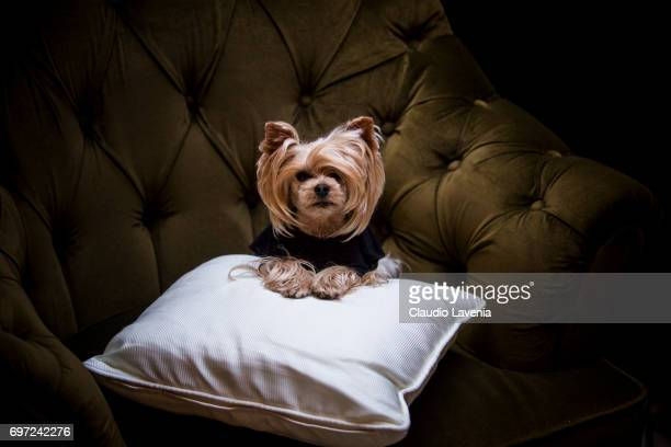 Little Lola Sunshine the dog pose for photographer at Four Season Hotel during Pitti Immagine Uomo 92 on June 11 2017 in Florence Italy
