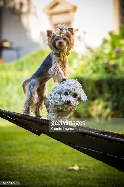 Little Lola Sunshine the dog poses for photographer at Four Season Hotel during Pitti Immagine Uomo 92 on June 11 2017 in Florence Italy