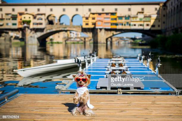 Little Lola Sunshine the dog poses for photographer near the Arno wearing a white dress during Pitti Immagine Uomo 92 on June 12 2017 in Florence...
