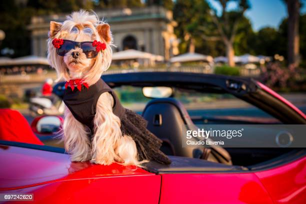 Little Lola Sunshine the dog poses for photographer on a Ferrari wearing a black dress during Pitti Immagine Uomo 92 on June 12 2017 in Florence Italy