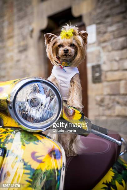 Little Lola Sunshine the dog poses for photographer on a Vespa wearing a white dress during Pitti Immagine Uomo 92 on June 12 2017 in Florence Italy