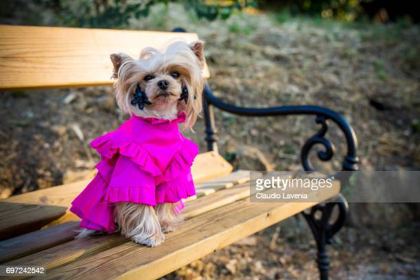 Little Lola Sunshine the dog poses for photographer wearing dress inspired by OffWhite during Pitti Immagine Uomo 92 on June 12 2017 in Florence Italy
