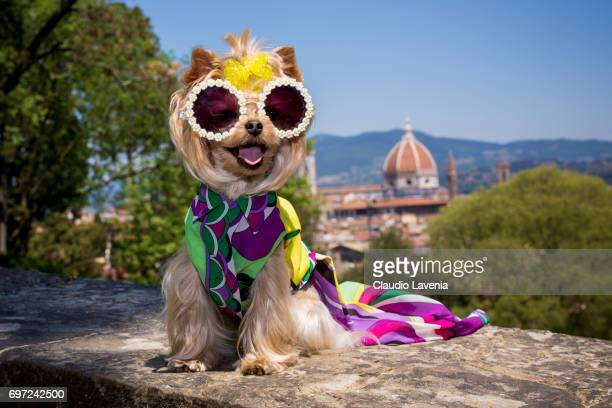 Little Lola Sunshine the dog poses for photographer wearing Emilio Pucci dress during Pitti Immagine Uomo 92 on June 12 2017 in Florence Italy