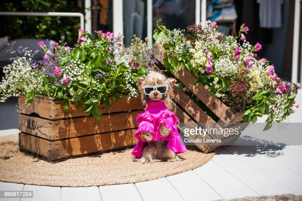 Little Lola Sunshine the dog wears a a neon silk dress inspired by OffWhite during Pitti Immagine Uomo 92 at Fortezza Da Basso on June 13 2017 in...