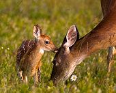 Newborn fawn sticking close to Mom.