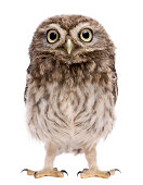 Little Owl, 50 days old, Athene noctua, standing in front of a white background.