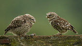 Little owl and chick