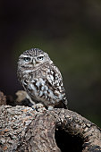 Little Owl at nest site