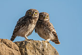 Little owl, Athene noctua, brothers